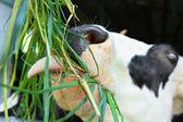 Cow at farm — Stock Photo