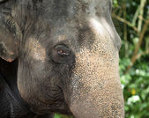 Close up of asian Elephant — Stock Photo