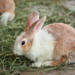 Stock Photo: Bunny rabbit
