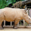 Rhino — Stock Photo #13963582