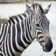Zebra — Stock Photo #13963598