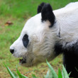 giant panda — Stock Photo #13963803