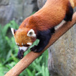 Red panda — Stock Photo #13963847