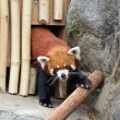 Red panda — Stock Photo #13963881