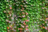 Ivy som täcker väggen — Stockfoto