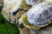 Tortoises — Stock Photo