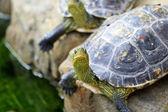 Schildkröten — Stockfoto
