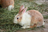Kanin — Stockfoto