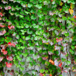 Stock Photo: Ivy covering wall