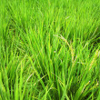 Rice field — Stock Photo #14140925