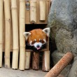 Red panda — Stock Photo #14217773