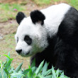 Beautiful panda - Stock Photo