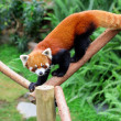Red panda — Stock Photo #14217785
