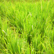 Rice field — Stock Photo #14218349