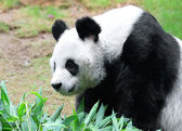 Vacker panda — Stockfoto