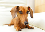 Dachshund dog on sofa — Stock Photo
