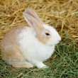 Stock Photo: Rabbit in farm
