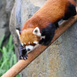 Red panda — Stock Photo #18016079