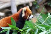 Panda red — Stock Photo