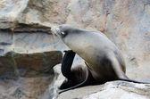 Seal on rock — Stock Photo