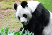 Giant panda eating bamboo — Stock Photo