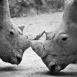 Rhino , black and white - Lizenzfreies Foto