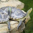 Turtle — Stock Photo #18444097