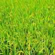 Paddy Rice — Stock Photo #18751049
