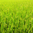Stock Photo: Paddy Rice