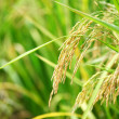 Paddy Rice — Stock Photo #18751061