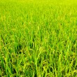 Paddy Rice — Stock Photo #18751643
