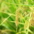 Paddy Rice — Stock Photo #18967673