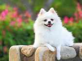 White Pomeranian dog — Stock Photo