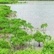Red Mangroves — Stock Photo