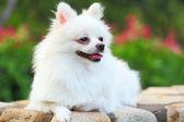 Cane Pomerania bianco — Foto Stock