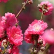 Peach blossom , decoration flower for chinese new year — Stock Photo #20105545