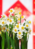 Narcissus flower for chinese new year — Foto de Stock