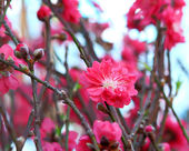 Peach blossom , decoration flower for chinese new year — Stock Photo