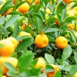 Kumquat for chinese new year — Stock Photo