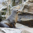 Seal on rock — Stock Photo