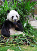 Giant panda eating bamboo — Foto de Stock