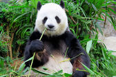 Panda eating bamboo — Stock Photo