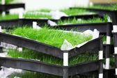 Grass divot — Stock Photo