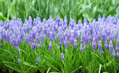 Flower, muscari botryoides — Stock Photo