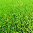 Paddy rice field — Stock Photo #23128174