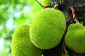 Jack fruit on tree — Stock Photo