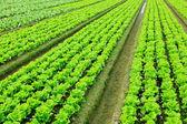 Roślina sałata w dziedzinie — Zdjęcie stockowe