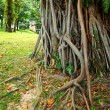 Tree roots — Stock Photo #23516659