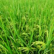 Asia paddy field — Stock Photo