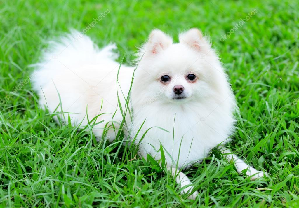 Small Pomeranian Dog Price